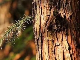 杉木家具的优缺点